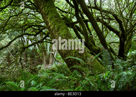 Wald der Küste Eichen (Quercus Agrifolia) und Farn, Point Reyes National Seashore, Kalifornien, USA - Stockfoto