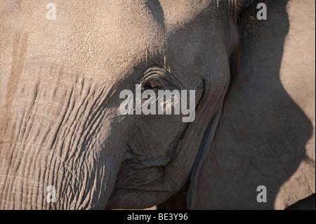 Afrikanischer Elefant (Loxodonta Africana Africana), Tuli Block, Botswana - Stockfoto