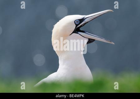 Basstölpel (Morus Bassanus, Sula Bassana) - Stockfoto