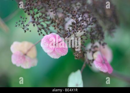 Herrlich blühende wilde Hydrangea Sargentiana rustikale Pflanze-feine Kunstfotografie Jane Ann Butler Fotografie - Stockfoto