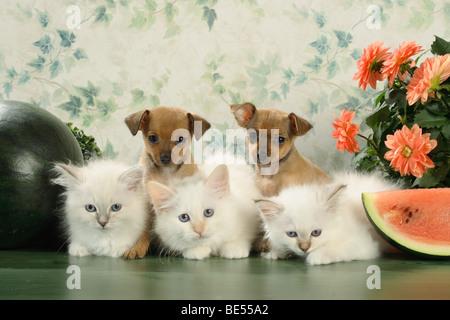tierische Freundschaft: drei Katzen Heilige Birma Kätzchen und zwei russische Toy Terrier Welpen - Stockfoto