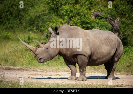 Weißer Rhinoceros (Ceratotherium Simum), MalaMala Game Reserve, Krüger Nationalpark, Südafrika - Stockfoto
