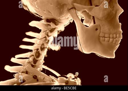 menschlicher Schädel und Wirbelsäule teilweise Skelett - Stockfoto