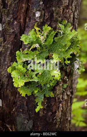 Feuchte lungenkraut Flechten (lobaria pulmonaria) wachsen auf Baumrinde, Pacific Northwest küstennahen Regenwald, - Stockfoto