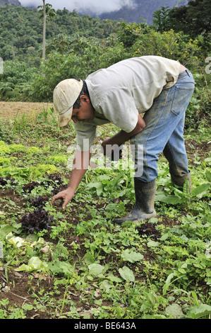 Landwirte tun, Feldarbeit, organische Landwirtschaft, Petropolis, Rio De Janeiro, Brasilien, Südamerika - Stockfoto