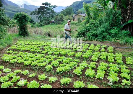 Feld mit Salat, Bio-Landwirtschaft, Rio De Janeiro, Brasilien, Südamerika - Stockfoto
