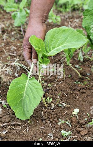 Ernte einer Kohl Pflanze, organische Landwirtschaft, Petropolis, Rio De Janeiro, Brasilien, Südamerika - Stockfoto