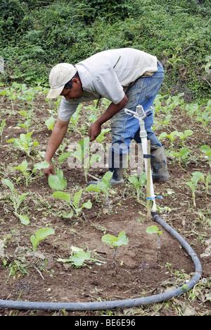 Bauern ernten Kohl, organische Landwirtschaft, Petropolis, Rio De Janeiro, Brasilien, Südamerika - Stockfoto
