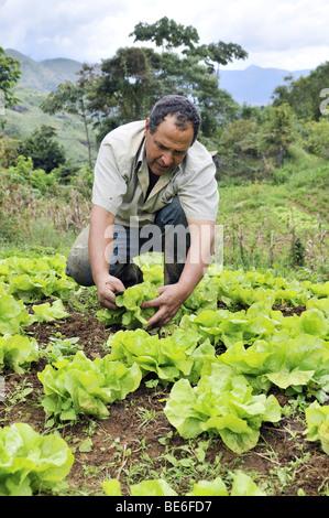 Bauern ernten Salat, Bio-Landwirtschaft, Petropolis, Rio De Janeiro, Brasilien, Südamerika - Stockfoto