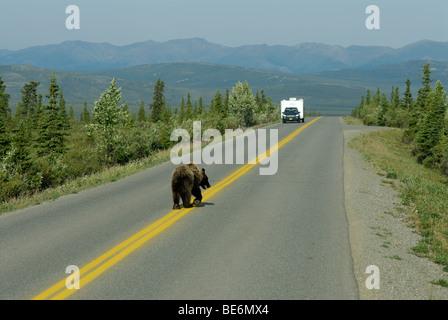 Brauner Bär (Grizzlybär), Ursus Arctos Horribilis auf die Parkstraße, Denali National Park - Stockfoto