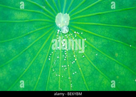 Tropfen auf der wasserabweisenden Blatt des Lotus (Nelumbo Nucifera) - Stockfoto