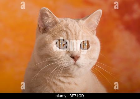 Britisch Kurzhaar Katze, Porträt - Stockfoto