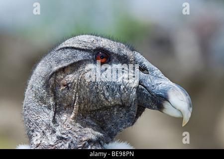 Anden-Kondor, Kondor Vultur, am Parque Condor, eine Reserve für gerettete Greifvögel in der Nähe von Otavalo, Ecuador, - Stockfoto