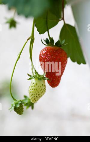 reife frische erdbeeren wachsen auf einer obstplantage. Black Bedroom Furniture Sets. Home Design Ideas