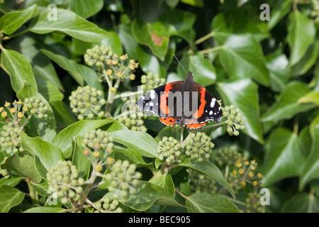Britische Natur ein roter Schmetterling Admiral (Vanessa atalanta) Blumen auf Efeu (Hedera helix) im frühen Herbst. Wales, Großbritannien, Großbritannien Stockfoto