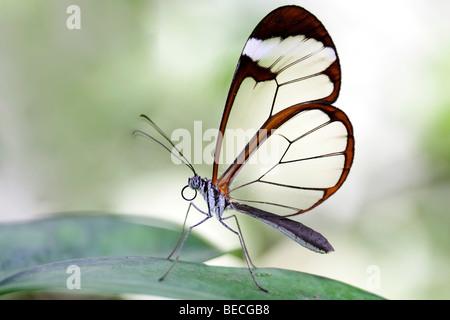 Glasswing (Greta Oto), südamerikanisch Schmetterling - Stockfoto