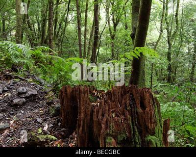 Farn auf Baum stumpf, Laurisilva, El Canal y Los Tilos-Biosphären-Reservat, La Palma, Kanarische Inseln, Spanien - Stockfoto