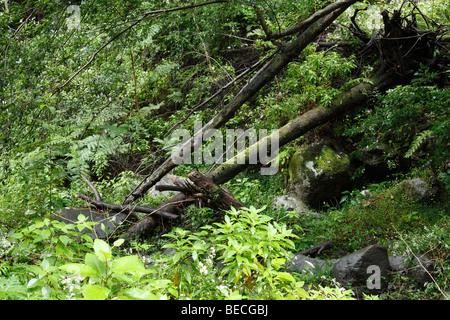 Laurisilva, Cubo De La Galga, El Canal y Los Tilos-Biosphären-Reservat, La Palma, Kanarische Inseln, Spanien - Stockfoto