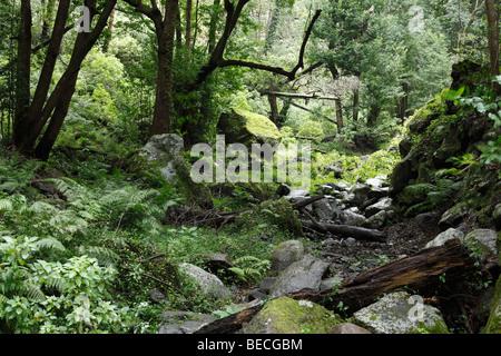 Bachbett in einem Laurisilva, Cubo De La Galga, El Canal y Los Tilos-Biosphären-Reservat, La Palma, Kanarische Inseln, - Stockfoto