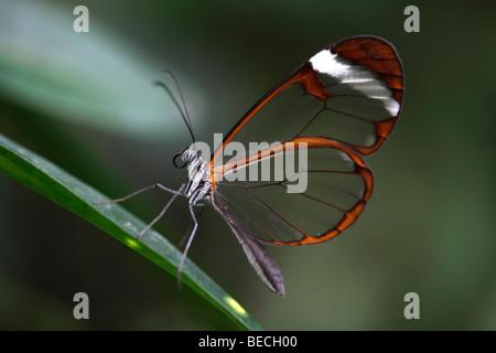 Glas Flügel Schmetterling (Greta Oto), südamerikanische Schmetterling - Stockfoto