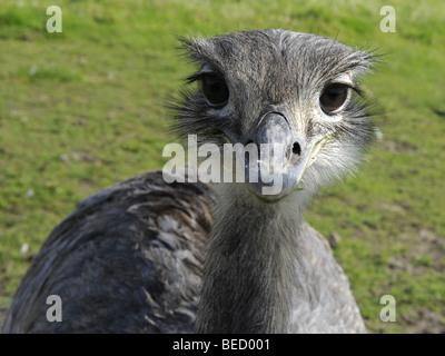 Das Gesicht von einem grauen Rhea. - Stockfoto