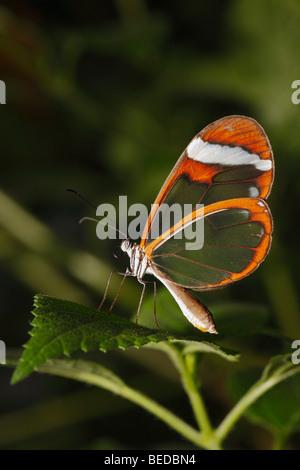 Glasswing (Greta Oto) - Stockfoto