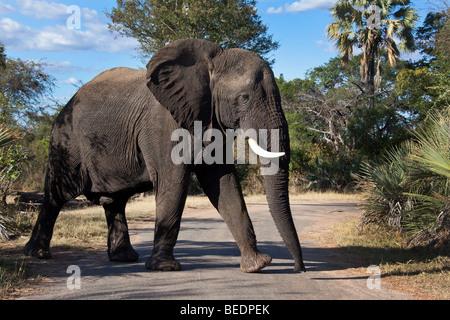 Ein männlicher afrikanischer Elefant (Loxodonta Africana) in der Nähe von Victoria Falls in Zimbabwe - Stockfoto