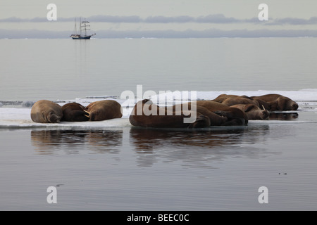 Walross ruht auf dem Packeis im arktischen Ozean nördlich von Svalbard mit Segeln Schiff im Hintergrund - Stockfoto