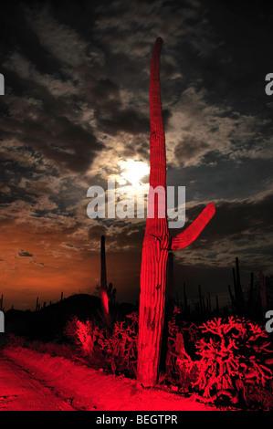 Saguaro Kaktus (Carnegiea Gigantea) überragen Saguaro National Park West in der Sonora-Wüste in Tucson, Arizona, - Stockfoto