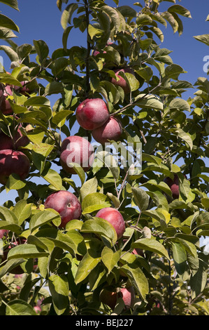 Lieblings Macoun Apfel Stockfoto, Bild: 39396458 - Alamy @QK_29