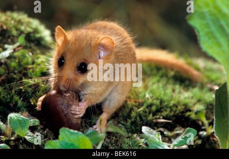 Haselmaus / Hasel Haselmaus (Muscardinus Avellanarius) Essen Mutter im Wald in der Nacht - Stockfoto