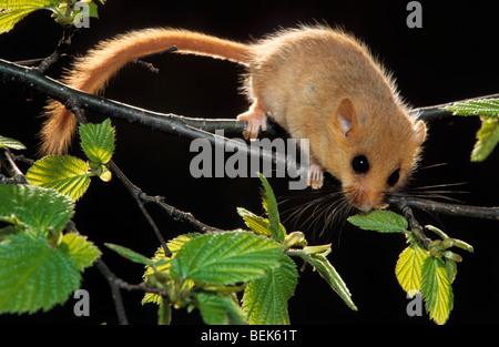 Haselmaus / Hasel Haselmaus (Muscardinus Avellanarius) auf Nahrungssuche im Baum für Haselnüsse im Wald bei Nacht - Stockfoto