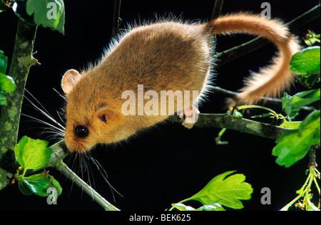 Haselmaus / Hasel Haselmaus (Muscardinus Avellanarius) im Baum auf Nahrungssuche für Haselnüsse im Wald bei Nacht - Stockfoto