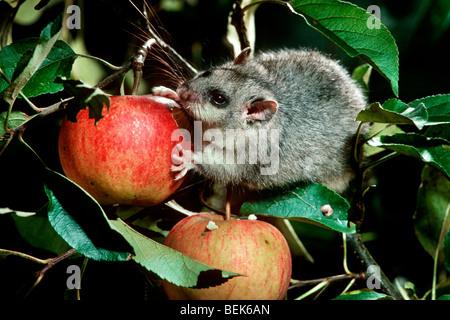 Essbare Siebenschläfer / Fett Siebenschläfer (Glis Glis) Essen Apfel Baum in der Nacht im Obstgarten, Frankreich - Stockfoto