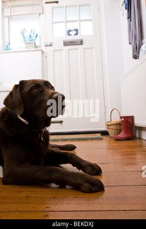 Ein brauner Labrador Hund wartet mit einer Haustür - Stockfoto