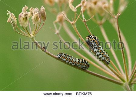Schwalbenschwanz Schmetterling (Papilio Machaon) Raupen - Stockfoto