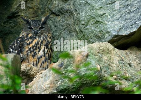 Eurasische Adler-Eule (Bubo Bubo) nisten auf Felsvorsprung in Felswand, Deutschland - Stockfoto