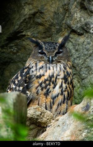 Eurasische Adler-Eule (Bubo Bubo) nisten auf Felsvorsprung in Felswand - Stockfoto