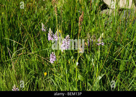 Biene-Orchidee wächst im Feld - Stockfoto