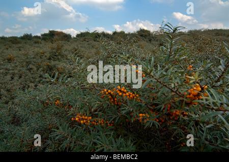 Common-Sanddorn (Hippophae Rhamnoides) Zweig mit reifen Beeren im Sommer - Stockfoto