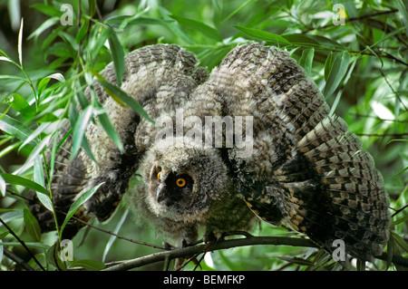 Waldohreule (Asio Otus / Strix Otus) Küken im Baum im Wald zeigen Bedrohung Display Flügel ausbreitet - Stockfoto