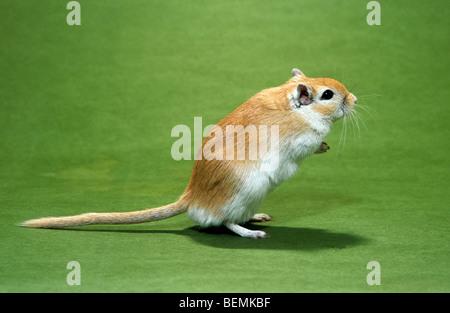 PET-Mongolische Wüstenrennmaus (Meriones Unguiculatus) aufstehen - Stockfoto