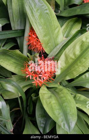 Blut-Lilie, Scadoxus Cinnabarinus, Amaryllisgewächse, tropischen Westafrika - Stockfoto