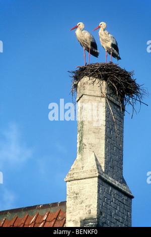 Weißstörche (Ciconia Ciconia) nisten am Schornstein des Hauses - Stockfoto