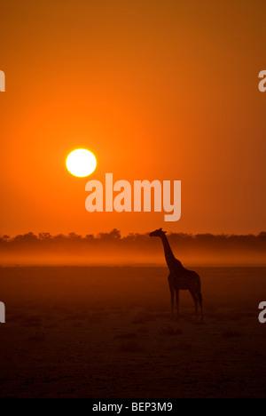 Silhouette einer Giraffe bei Sonnenuntergang in Etosha Nationalpark, Namibia, Afrika. - Stockfoto