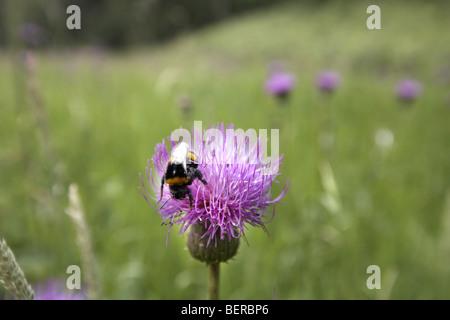 Bumble Bee bestäuben Melancholie Distel Blume, Cirsium Heterophyllum, Cumbria, UK - Stockfoto