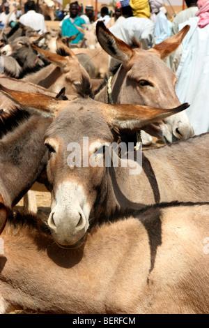Inländische Esel (Equus Asinus) zum Verkauf an Esel Markt, Zinder, Niger, Westafrika - Stockfoto