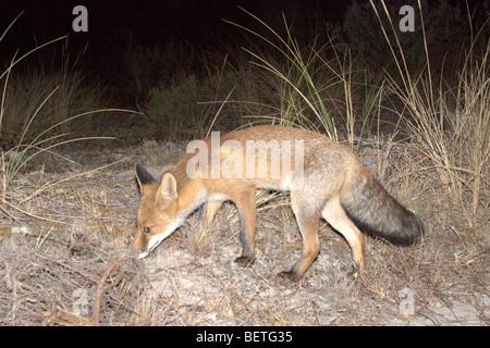 Rotfuchs (Vulpes Vulpes) auf der Suche nach Nahrung - Stockfoto
