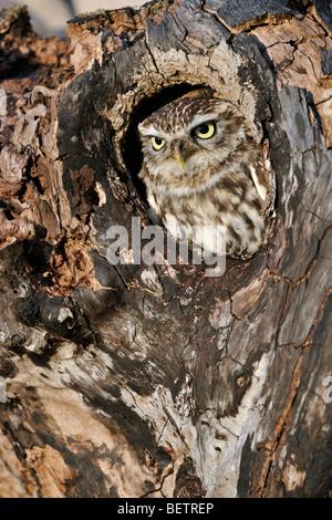 Nahaufnahme von nistenden Steinkauz (Athene Noctua) Kopf ragte aus Nest Loch im hohlen Baum-Hohlraum Peer - Stockfoto