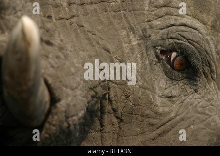 Nahaufnahme des afrikanischen Elefanten Auge und Tusk. Hwange Nationalpark, Simbabwe. - Stockfoto